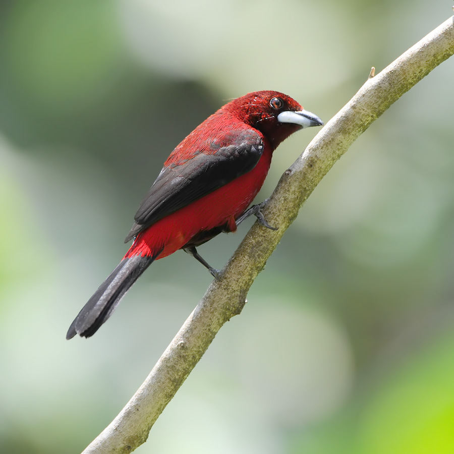 Crimson-backed taanager (Roodbuik-tangare)