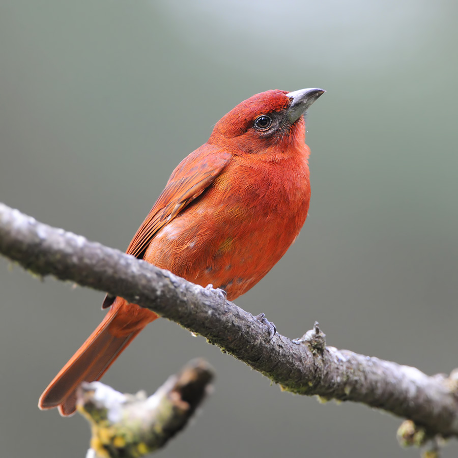 Hepatic Tanager (Levertangare)